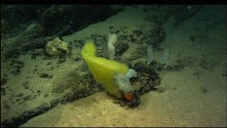 Yellow and white sponges and an orange anemone. Photo