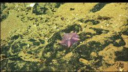 A translucent purple brown sea star Photo