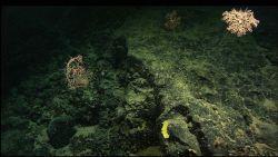 Parasol corals, Metallogorgia sp., on a rock outcrop. Photo