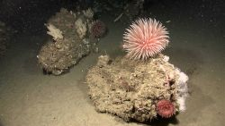 A large pompom anemone, a smaller anemone, and brittle stars make the boulder in the foreground their home Photo