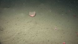 A birsingid starfish with legs upraised. Photo