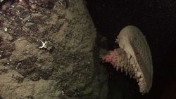 Large brown goiter sponge and small white starfish Photo