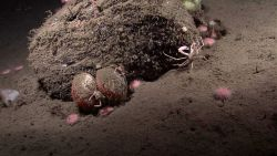 A mound with scallops, urchins, a crab, and other life forms. Photo