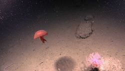 A large red jellyfish with a whitish pink soft octocoral Photo