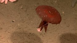 A large red jellyfish with tentacles extended. Photo