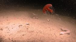A large red jellyfish with tentacles extended, numerous white translucent holothurians, and other life forms on a mud substrate. Photo