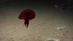 A large red jellyfish with tentacles extended; white holothurians; a brittle star; and a small red scorpionfish. Photo
