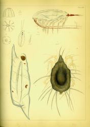Drawing of zooplankton observed by Ellen Toynbee on board the British East Indiaman GLORIANA in the Indian Ocean in 1857 Photo