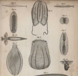 Ctenophores (comb jellies) and a clione (shell-less gastropod , Figure 10) and other planktonic creatures in William Scoresby's