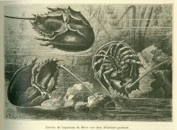 Horseshoe crabs as illustrated in La Nature. Photo