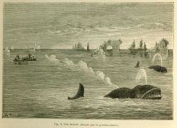 Demonstration of bomb harpoon killing North Atlantic Right Whale in La Nature June 1877. Photo