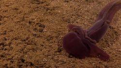 A large purple acorn worm Image