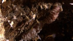 A scaleworm and barnacles with feeding tentacles extended. Image