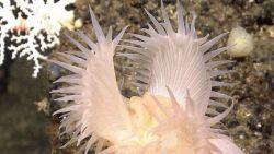 A closeup of the white venus flytrap anemone. Image