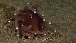 A reddish purple anemone with white dots at the end of its tentacles. Image