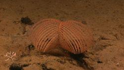 Antipatharian coral (black coral) Bathypathes sp. Image