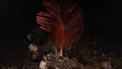 A red antipatharian coral (black coral) Bathypathes sp. Image