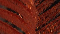 Closeup of a red antipatharian coral (black coral) Bathypathes sp Photo