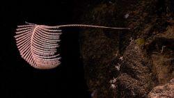 A long-stalked pink antipatharian