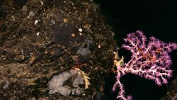 A white octocoral with purple polyps; a large red brittle star; gray material that is possibly a sponge; and many small white corals. Image