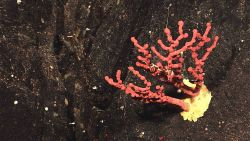 A small red paragorgia coral (bubblegum coral) with a yellow base Image