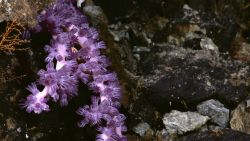 A white octocoral with purple polyps Image