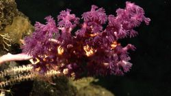 A white-stalked octoroal with large purple polyps and a large brittle star(s) entwined in its branches. Image