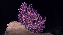 A white branched octocoral with stunning purple polyps and numerous brittle stars. Image