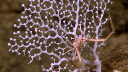 A white stony coral with delicate polyps extended and a squat lobster. Image