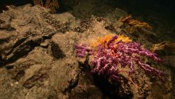 A large octocoral with purple polyps extended in the foreground, a bright yellow coral directly behind, and a number of Paramuricid corals in the back Image