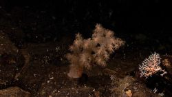 An alcyonacean coral - possibly Siphonogorgia alexanderei - and a small white stony coral with a brittle star. Image