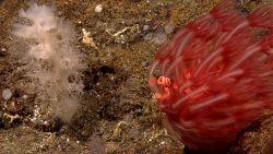 Red mushroom coral - Anthomastus sp Photo