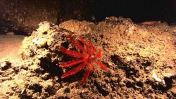 A red feather star crinoid and a large shrimp and a small white feather star crinoid to the right Image