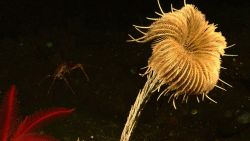 A large yellow-white feather star crinoid and a red feather star crinoid in the lower left Image