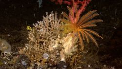 An orange yellow feather star crinoid on Madrepora sp Image