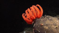 Although looking similar to some of the feather star crinoids, this is a large orange brisingid sea star. Photo