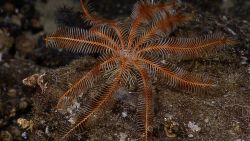 An orange feather star crinoid on a rock surface. Image