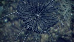 A black feather star crinoid. Photo