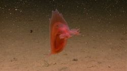 A swimming red holothurian. Image