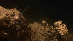 Sea urchin with very long thin spines on rock. Photo