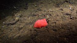 A seemingly amorphous starfish Image