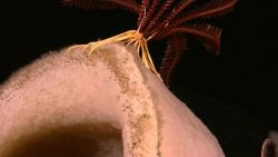 Base of a red crinoid with yellow bottom on a large white sponge. Photo