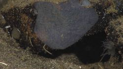 A gray encrusting sponge with a tube worm below and a translucent tentacled anemone to the right. Photo