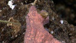 A reddish-ink encrusting sponge on rock substrate. Image
