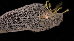A glass sponge with a squat lobster in its interior and a yellow feather star crinoid on top. Photo