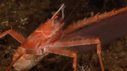 Red squat lobster Photo