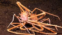 Two spiky lithodes sp Photo