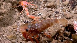 A very large white-spotted brown shrimp next to a small orange squat lobster on a pebble bottom. Photo