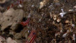 Two red with white horizontal stripes shrimp on a rock face. Photo