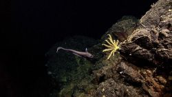 A macrourid fish and a yellow crinoid. Image
